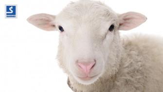 Comment choisir un mouton en bonne santé ?