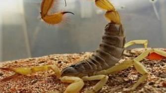 Envenimation scorpionique en Algérie