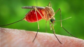 Les maladies transmises par les moustiques, comment les éviter?