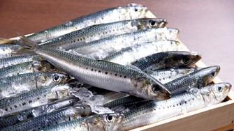 Un poisson argenté aux reflets bleu-vert : la sardine