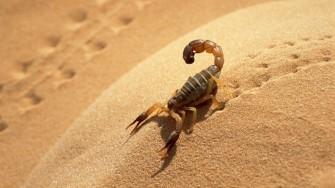Plus de 1.800 piqûres de scorpions et 6 décès depuis janvier à Adrar